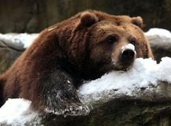 Медведь впал в спячку в черте города Снежинск, его сон решили охранять до весны