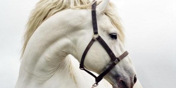 В Петербурге судебные приставы арестовали породистую лошадь