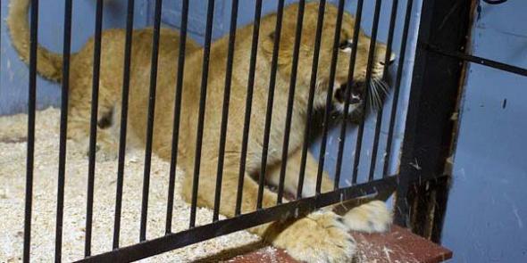 В поезде Петербург — Москва нелегально провозили львенка