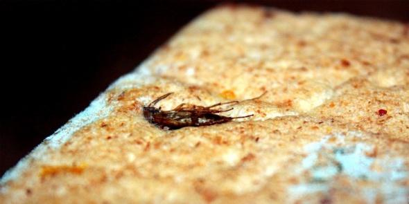 В Колпино мигранты-нелегалы готовили лаваш с тараканами