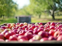 УФАС объяснило, почему подорожали яблоки